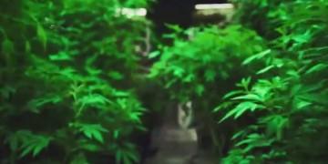 Dlaczego marihuana będzie następnym największym Amerykańskim przemysłem?